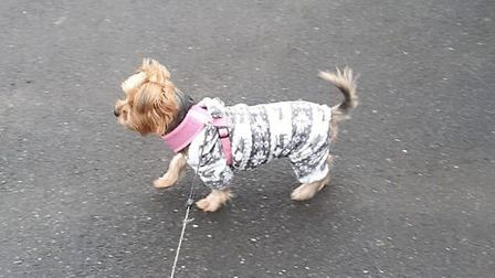 Miley, the missing yorkshire terrier, was wearing this pink and grey onsie when she was taken from the van. Picutres...