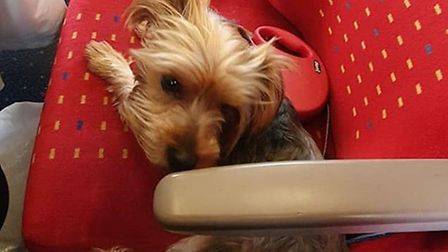 Miley, a three-year-old yorkshire terrier has been stolen from a van in Norfolk Street, Wisbech. Pictures: Charis Wilson /...