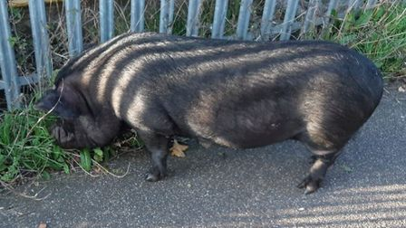 It wasn?t porkies...there was an escaped pig in Eaton Socon. Picture: CAMBS POLICE