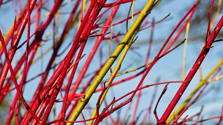Gather dogwood stems after the leaves have dropped or order online and soak in water for a couple of days beforehand.