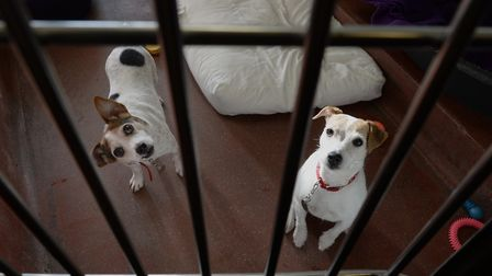 Jack Russells Lottie and Jessie pictured in their kennel at Battersea Dogs & Cats Home. Photo: Anth