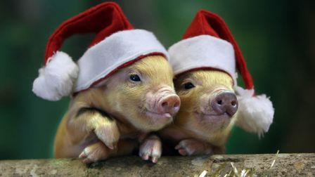 Christmas time for the Pennywell pigs