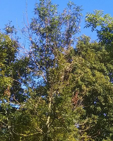 Ash Dieback in Long Park, Sidmouth Picture: Ed Dolphin