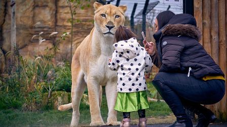 A young girl looking at a lion at the zoo