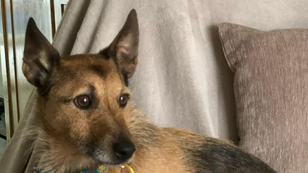 Picture of cute terrier cross Cadbury from Dogs Trust Ilfracombe on the sofa in his new home