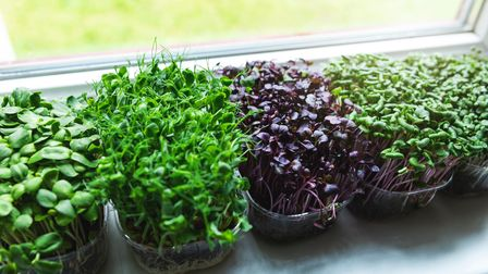 Undated picture of microgreens growing on a windowsill. See PA Feature GARDENING Recycle. Picture cr