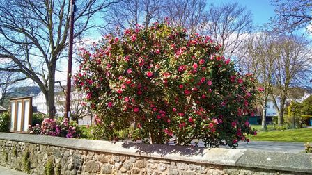 A flowering camellia shrub in Sidmouth