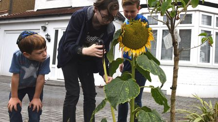 Aron Tiller aged 12 measures a sunflower watched by brothers Jonah 6 and Noah aged 10. Picture: Ken