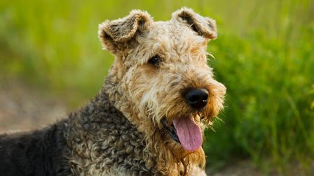 Airedale terrier dog lying on the road in the green grass sunny summer evening.