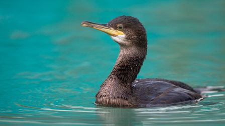 Shags can be seen in the harbour throughout the winter months