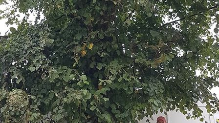 St Albans Civic Society president Tim Boatswain alongside the mature lime tree in Bricket Road.