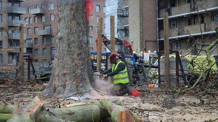 Trunk of Happy Man Tree being cut down with a chainsaw.