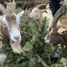 Goats at Kentish Town City Farm helping to fundraise, by eating Christmas trees.