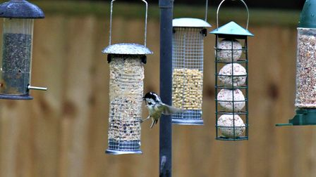 A longtail at the feeders