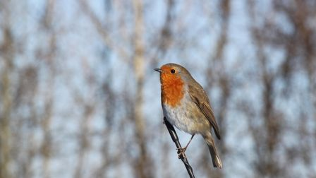 A robin, the gardener's friend