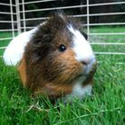 Shopping for food for a pet guinea pig has become a pleasure.