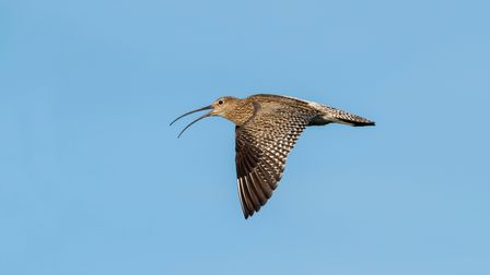 Curlew flying over Hayle Estuary Cornwall