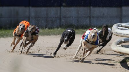 Greyhounds in action
