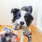 Funny portrait of cute smilling puppy dog border collie holding colourful rope toy in mouth. New lov