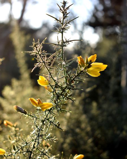 Wild gorse on the Heath flowers throughout the year, even in January
