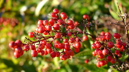 Bright red berries stand out on a lockdown morning at Golders Hill Park.