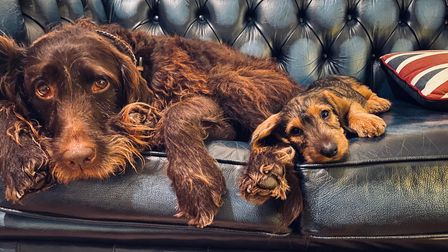 Mabel the labradoodle and Nellie the wirehaired dachshund