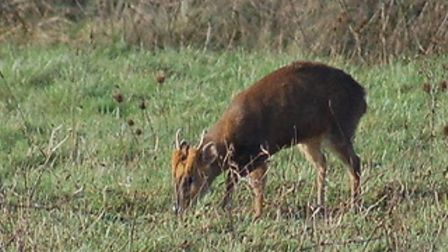 Muntjac deer are seen on the farm in Hail Weston.