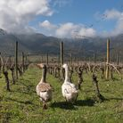 Geese in Koyle's biodynamic vineyards in Chile's Andean foothills.