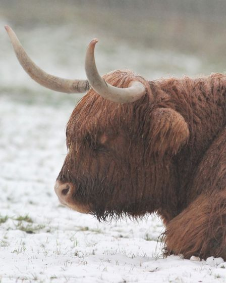 Highland cows in the snow at Alton Water, Suffolk