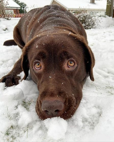 Twix the chocolate Labrador was having a lot of fun in the snow.