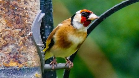 Gerry Brown's photograph of a Goldfinch which he took in his back garden.