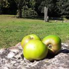 Have you discovered the apple tree in Kitson Park? Apples on a rock in the foreground with parkland behind