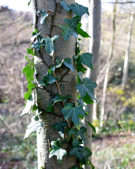 Winter greenery provided by ivy that clings to trees in the Parkland Walk.