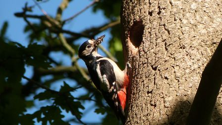 Great spotted woodpecker at Trendlewood Park