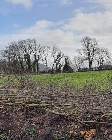 A recently laid blackthorn hedge