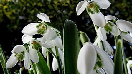 Snowdrops at Brodsworth