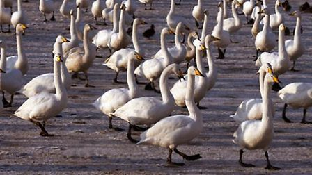 Whooper-swans-love-coming-to-L-ca13176e
