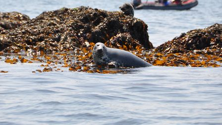 An Atlantic Grey Seal basking on the rocks in Falmouth Harbour (courtesy of David Barnicoat)