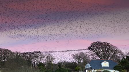 Starlings at Marazion, captured on camera in autumn 2012