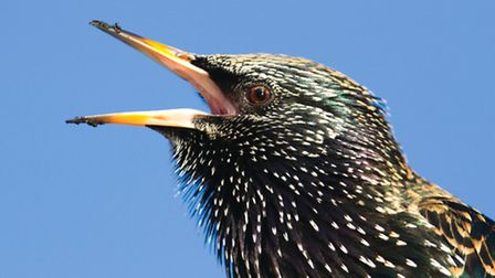 Starlings have a wide range of calls including some astonishing mimicry