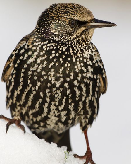 Starling numbers are at their highest in Cornwall in the winter months