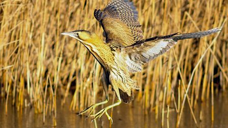 Photo of a bittern. Picture credit: PA Photo/William Richards.