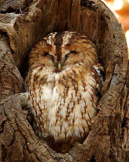Mabel The Tawny Owl sits in the tree in Christchurch Park, Ipswich.