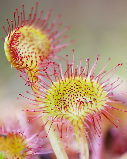 Rounded leaved sundew Photo by David Chapman