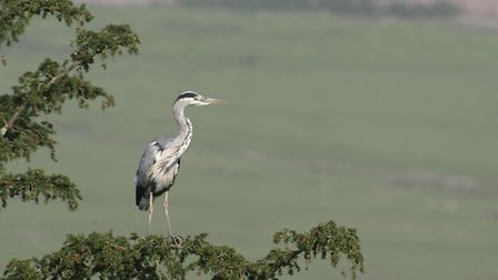 A grey heron population has reached about 750 in Lancashire. Picture: Darin Smith