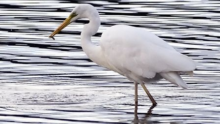 A great white egret by Damien Waters