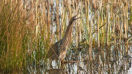 The elusive bittern by Peter Smith, NW Wild Images