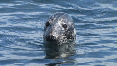 Grey seal known as Lucille Photo by Cornwall Seal Group