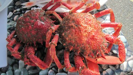 Cooked Spider Crab. Photo: Abby Crosby