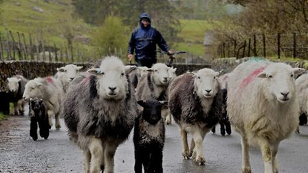 David Bland moving the flock at West Head, Thirlmere
